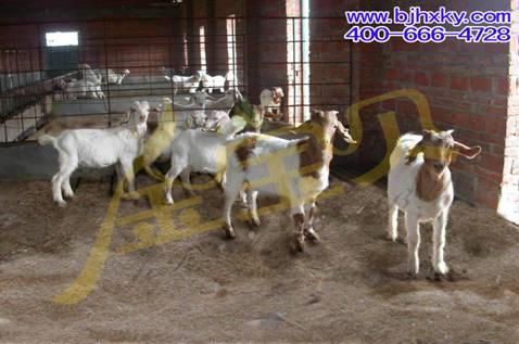 干撒式发酵床养羊