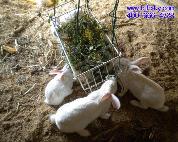 发酵床养兔