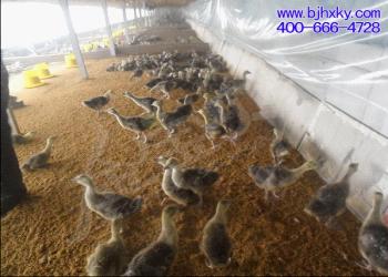 发酵床养鹅菌种