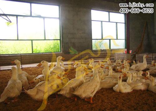 发酵床养鸭原理