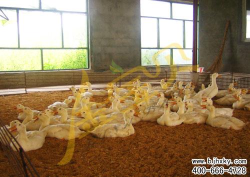 发酵床养填鸭