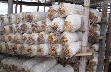 菌糠发酵饲料