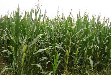 春玉米施肥