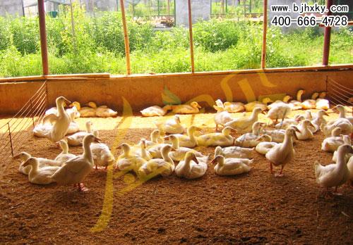 填鸭发酵床如何管理维护