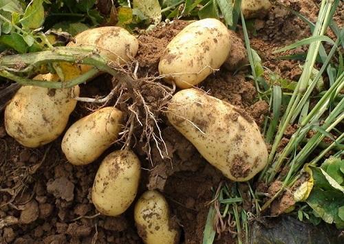 马铃薯早春御寒策略